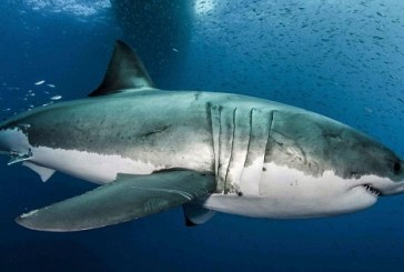Great White Sharks could help Scientists find Cure for Cancer in Humans
